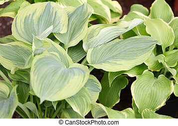 Hosta or plantain lilies leaves background