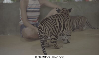 Woman with two little tiger cubs. - Happy woman petting...