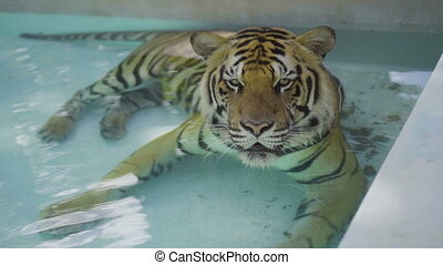 Big tiger relaxing in the pool - Beatiful big tiger relaxing...