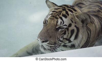 Big tiger relaxing in the pool. - Beatiful big tiger...