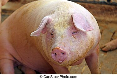 large snout of the pig in the pigsty on the farm