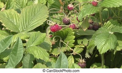 Strawberry Glade in the forest - Wild strawberries ripen in...