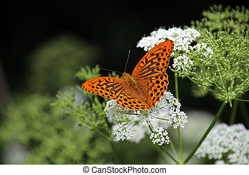 Colorful butterfly in summertime - Argynnis paphia butterfly...