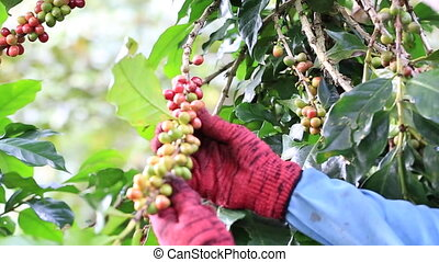 Coffee Beans harvested by hand - Ripe cherries Coffee Beans...