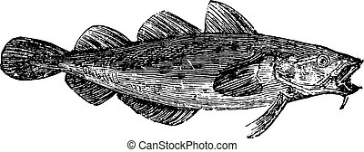 Cod fish or Gadus spp From Domestic Life, vintage engraving,...