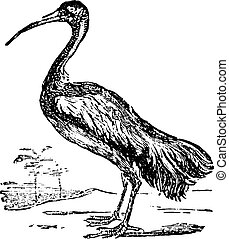 Ibis or Threskiornis spp. From Domestic Life, vintage...