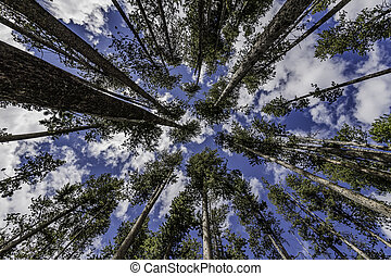 Tall pine trees in the Forest