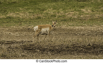 Lonely Pronghorn in the forest at Yellowstone National park