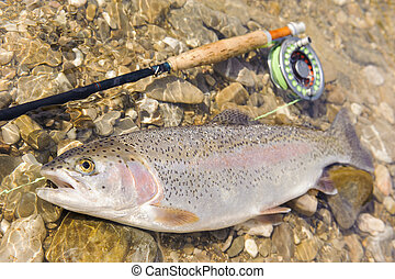 trout caught by flyfishing - rainbow trout caught by...