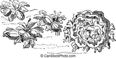 Melons, gigantic lettuce, vintage engraving. - Melons,...