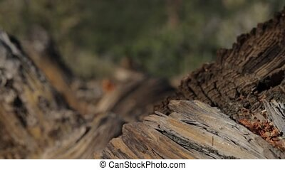 Trunk at Sunset Crater Monument, Arizon, USA - Native...