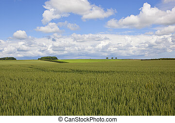 yorkshire wolds wheat fields - a ripening wheat crop in the...