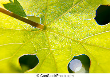 Grape leaf - Beautiful Grape Leaf In the Morning Sun with...