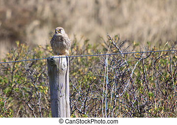 Juvenile kestral bird sitting on a fence pole