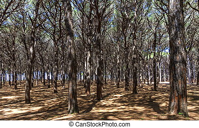 Pinewood forest, Cecina, Tuscany, Italy - Pinewood forest by...