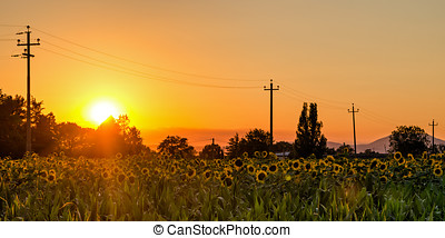 Umbria (Italy) sunflowers field at sunset