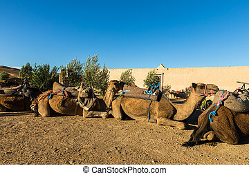 camels in the camp of the Berbers