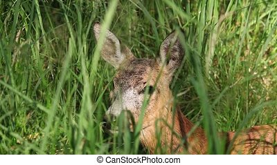 Portrait of wild roe deer lying in the green grass on a...