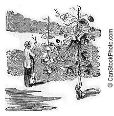 Common Hop or Humulus lupulus. A gardener and his hops. From...