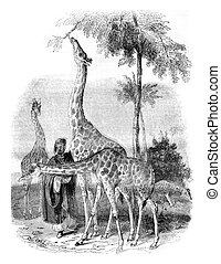 Giraffes arrived in London in 1836, vintage engraving. -...