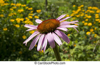 Echinacea flower photographed in the evening rays of the sun