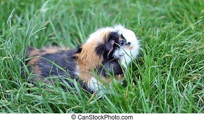 Guinea pigs in the grass closeup