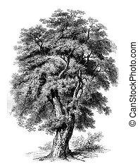 Oak cork of Spain, vintage engraving. - Oak cork of Spain,...