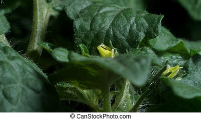 Tomato Leaves and Flowers - Time lapse of a tomato plant...
