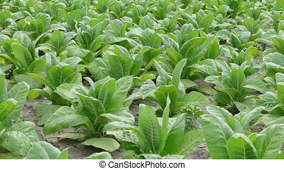 Tobacco plant in field, zoom in - Tobacco plant field in...