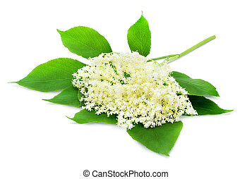Sprig of sambucus - Sprig of sambucus with green leaves...