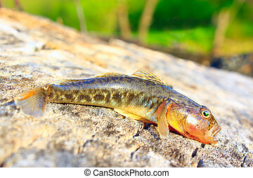 small caught gudgeon - small caught grey gudgeon on the...