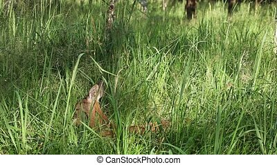 Roe deer in tall green grass