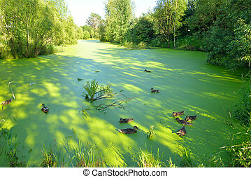 Ducks in the swamp - Group of swiming ducks in green morass...