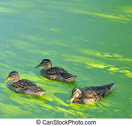 Ducks in the swamp. - Group of swiming ducks in green...