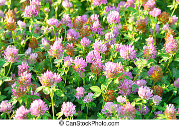 Red clover close up - Red clover, Latin Trifolium pratense A...