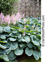 Hosta Hosta Group of flowering plants on the background of a...