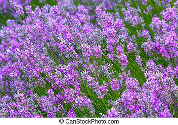 Lavender meadow close up in the garden