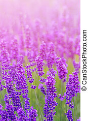Lavender meadow close up - Lavender bushes closeup in the...