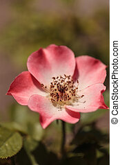 Happy Chappy pink apricot rose, rosa, flower blooms as...