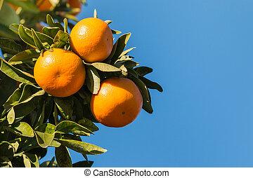 ripe satsumas on tree against sky - closeup of ripe satsumas...