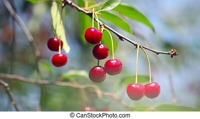 Ripe cherry ; beautiful,ripe cherries are ready for picking...