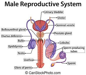Chart showing male reproductive system