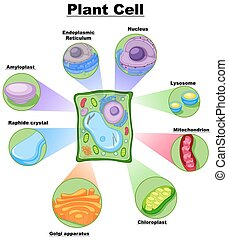 Diagram showing plant cell illustration