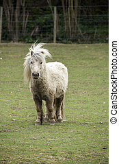 Shetland pony in a field with trees in the background