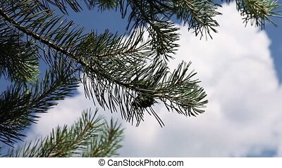 Spruce branch with cone slowly swinging in the wind on...