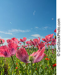 poppies in a field - poppy field with poppies in summer
