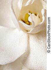 blanco, Gardenia, flor, aislado