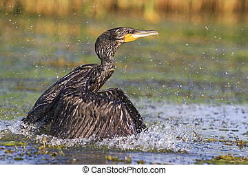 Cormorant wave picks,Cormorant with spread wings, river,...