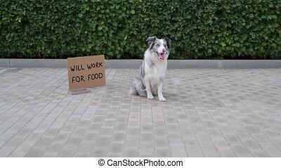 Dog does tricks near cardboard - Circus dog does tricks near...