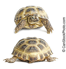 Tortoise face and back | Isolated - Two views (face and...